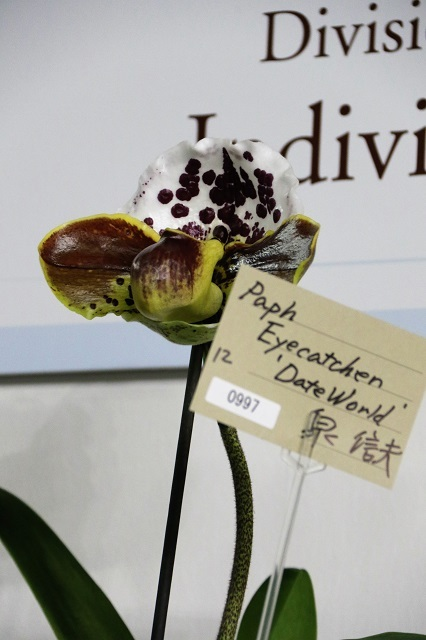 "Paph.Eyecatchen ""Date World"""