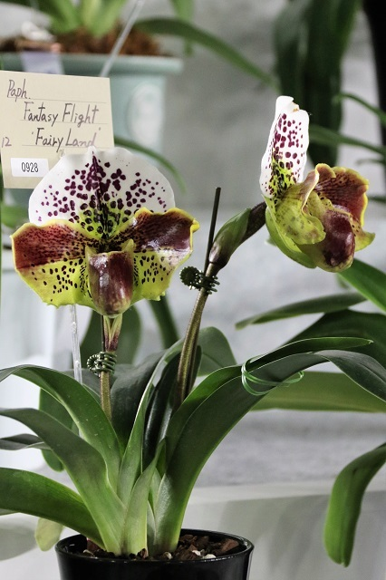 "Paph.Fantasy Flight ""Fairy Land"""