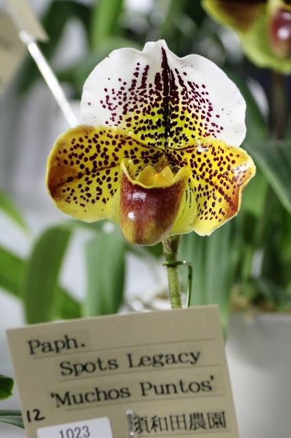"Paph.Spots Legacy ""Muchos Puntos"""