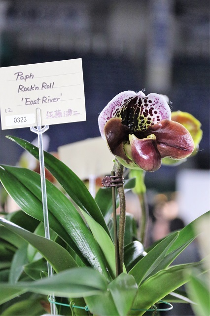 "Paph.Rock'n Roll ""East River"""