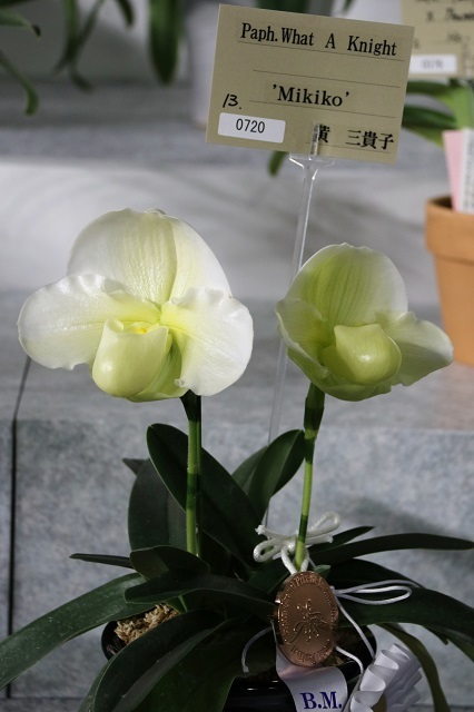 "Paph.What A Knight ""Mikiko"""