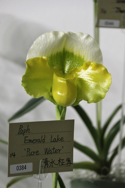 "Paph.Emerald Lake ""Pure Water"""