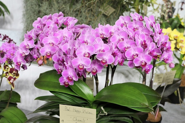 "Phal.Happy Vivien ""Chunli"""