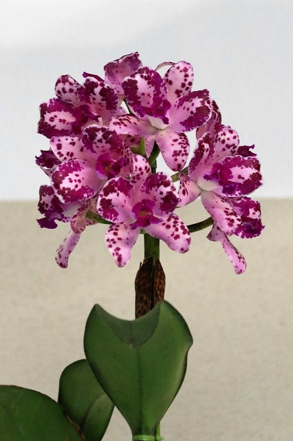 "C.amethystoglossa ""Purple Jewel"""