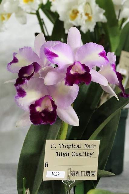 "C.Tropical Fair ""High Quality"""