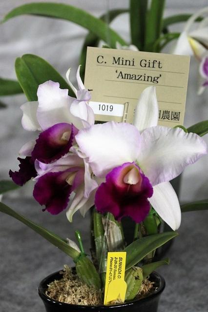 "C.Mint Gift ""Amazing"""