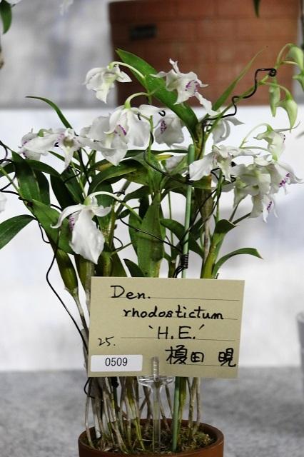 "Den.rhodostictum ""H.E."""