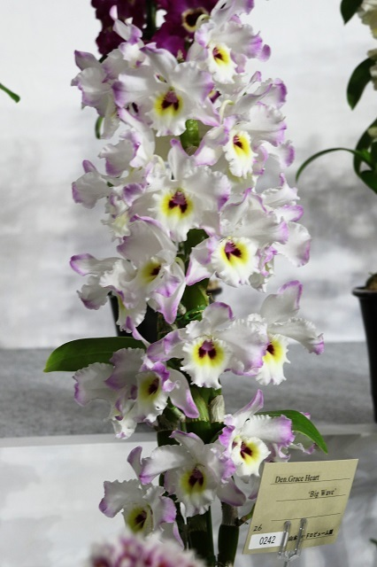 "Den.Grace Heart ""Big Wave"""