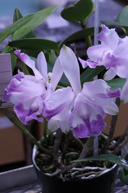 """C.intermedia (fma.coerulea-aquinii × fma.orlata) """"05"""""""