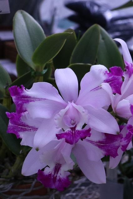 "C.intermedia fma.flamea ""Fujitachi"""