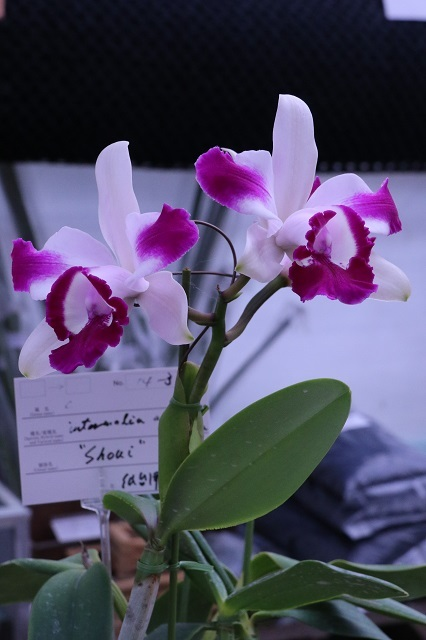 "C.intermedia ""Shoui"""