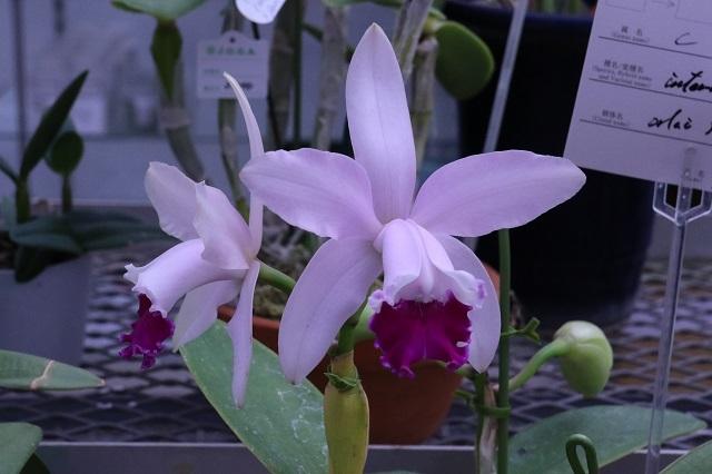 C.intermedia fma.orlata select