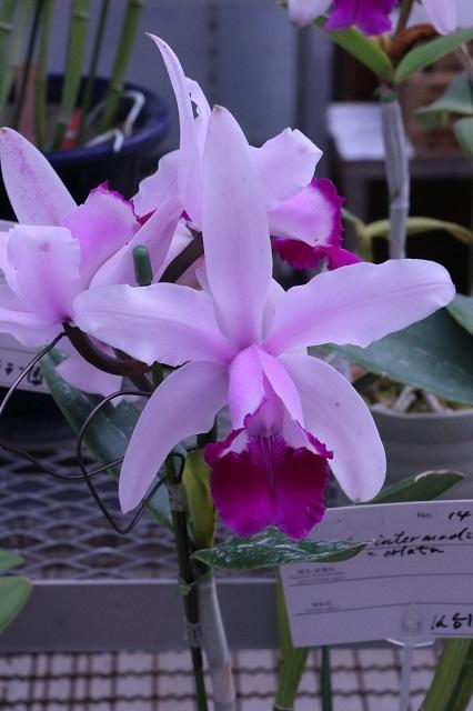 C.intermedia (Vinicolor × orlata)