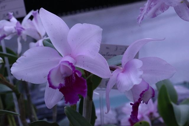 "C.intermedia (fma.aquinii ""Fujiwara"" × fma.Azure orlata) ""3-24-1"""