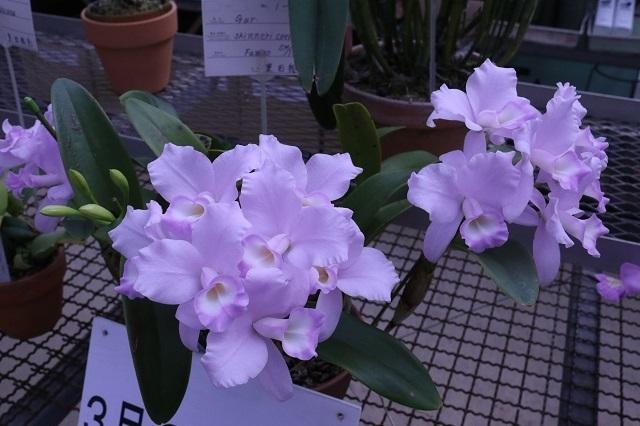 "C.skinneri fma.coerulescens ""Fumiko"""