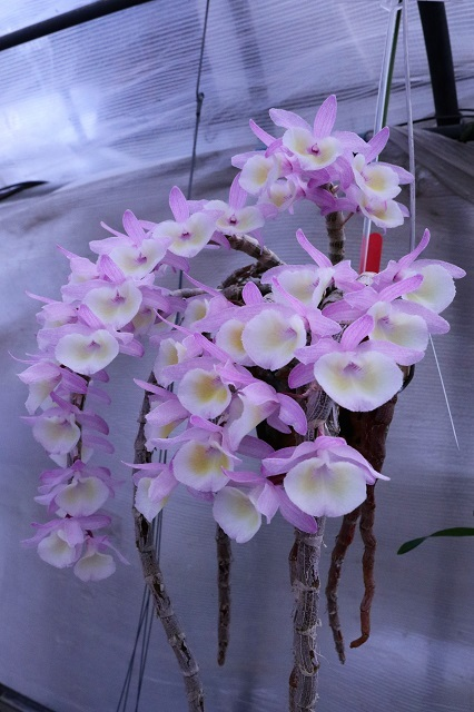 "Den.polyantum ""Long well"""