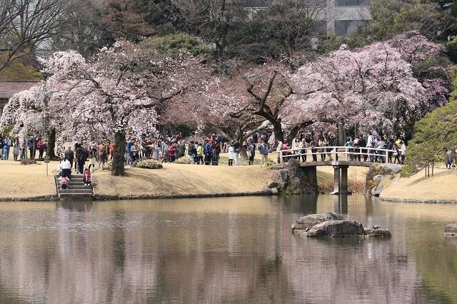 小石川後楽園の桜