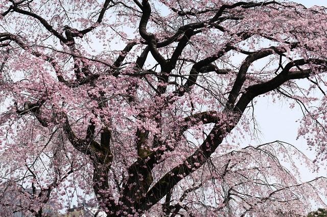 まるで桜のシャワー