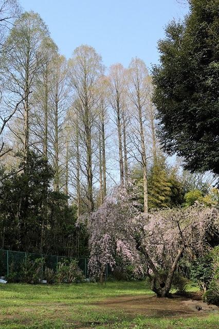 裏山のしだれ桜