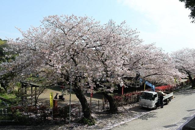 民族資料館 和田家前の桜