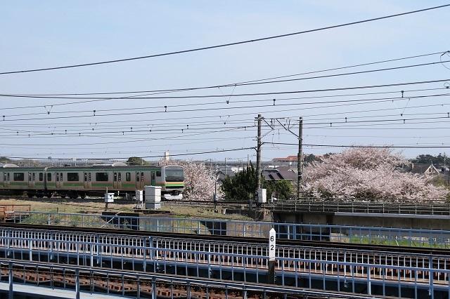 春爛漫 桜と湘南電車