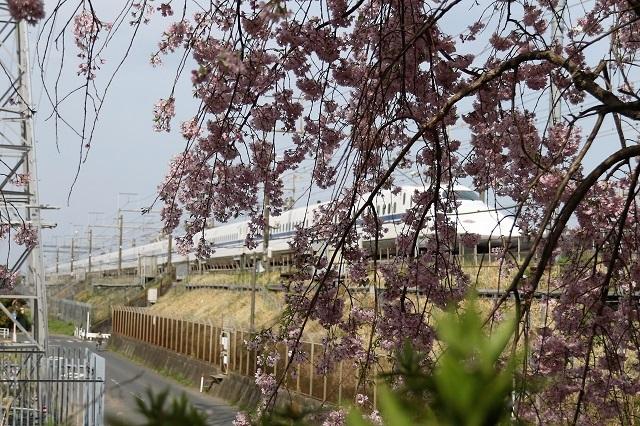 春爛漫 桜とのぞみ