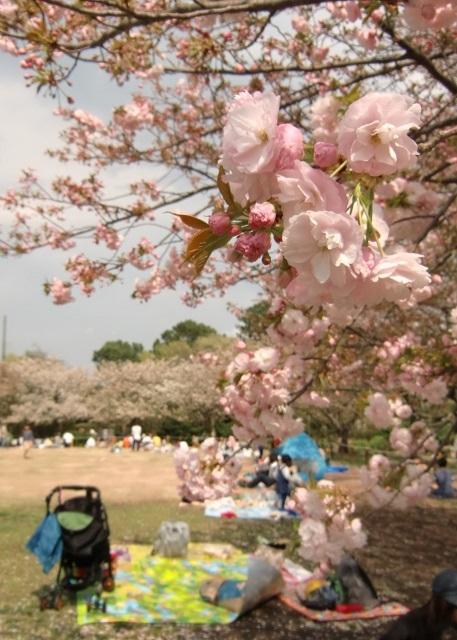 うっすらピンクの八重桜