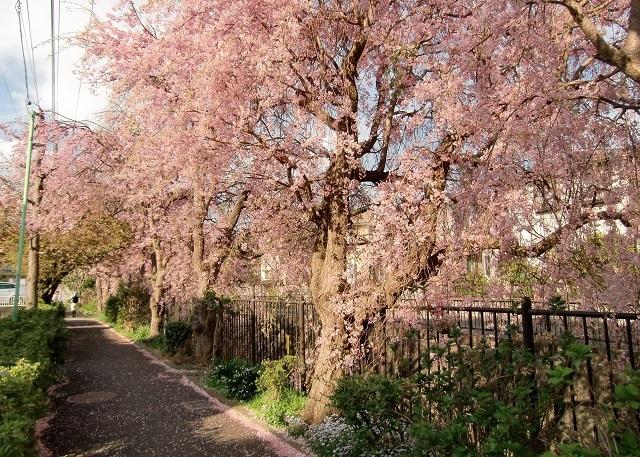 小糸川の仙台しだれ桜