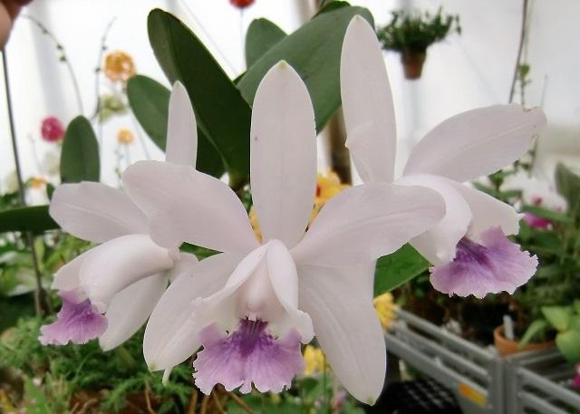"""C.intermedia var.coerulea """"XXXA"""""""