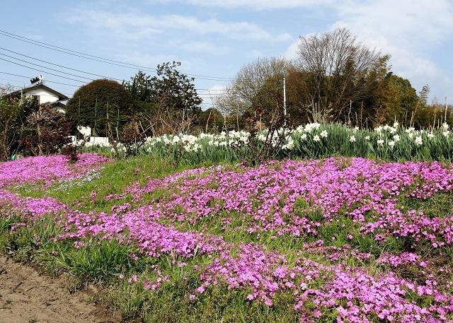 ピンクの絨毯 芝桜