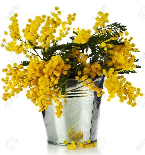 mimosa-3.jpg