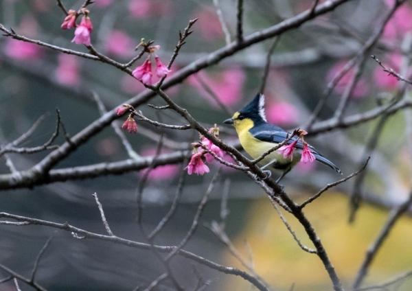 タイワンシジュウカラ8
