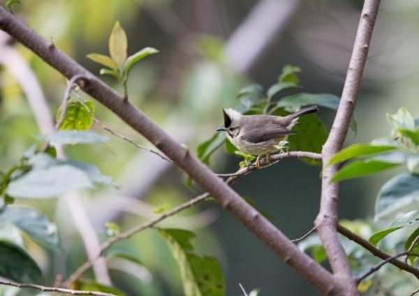 カンムリチメドリ2