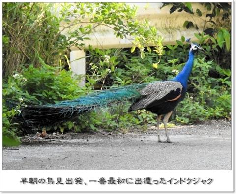 2017414kujaku.jpg