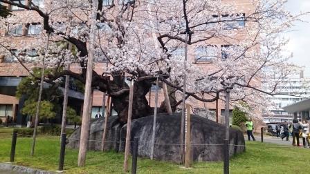 石割桜01LT