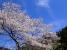登山口の桜は満開