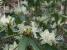 期待のヒカゲツツジも咲いていました