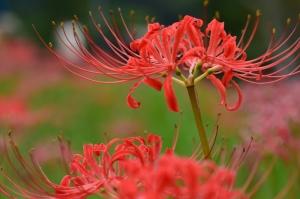 群生地に咲くヒガンバナ