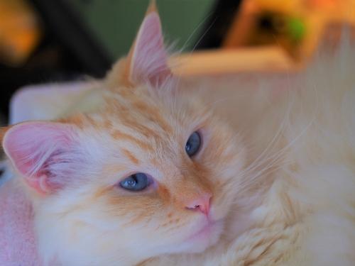 薄目白玉猫5