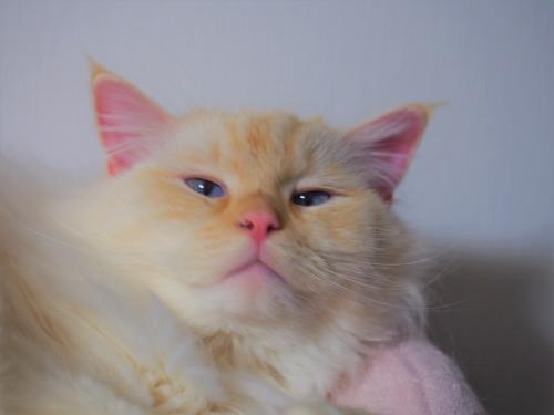 薄目白玉猫4