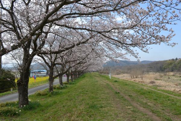 嵐山桜道2