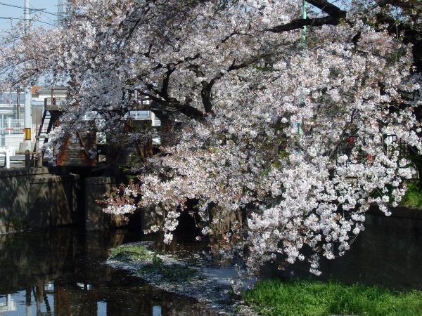 田谷堰の桜