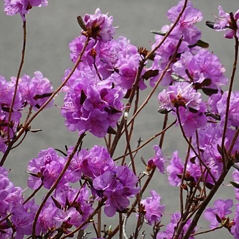 蝦夷紫ツツジ