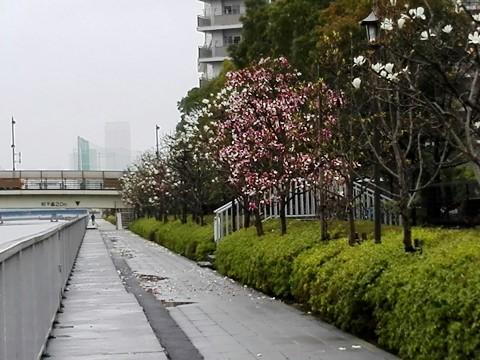 汐浜運河とモクレン