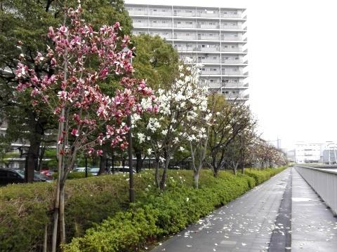 汐浜運河のモクレン