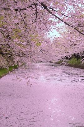 弘前城公園の花筏