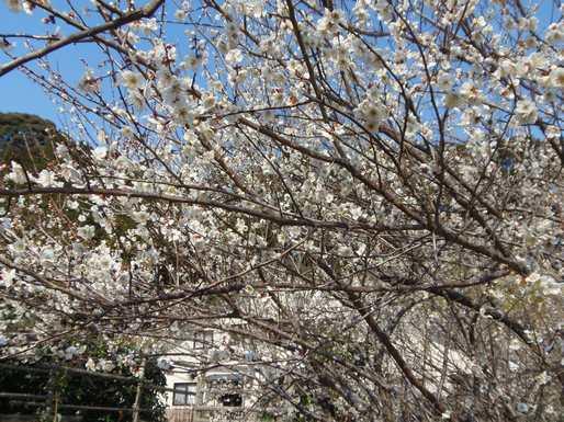 20170302 満開の梅の花
