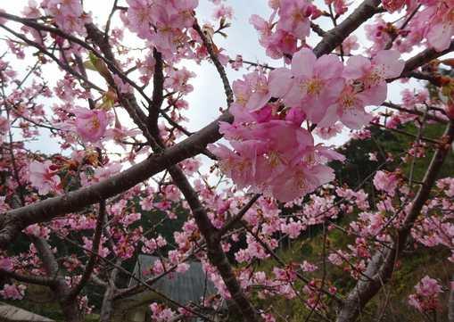 20170307 河津桜