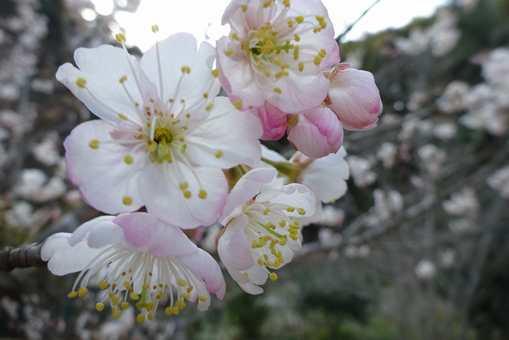 20170320 暖地サクランボの花