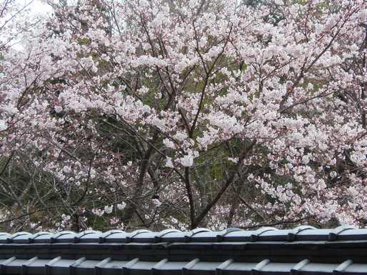 20170408 満開の桜